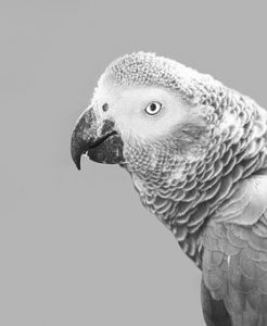 african-grey-parrot-3338530__340