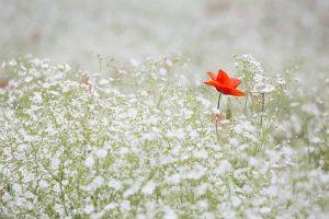 poppy-1128683__340