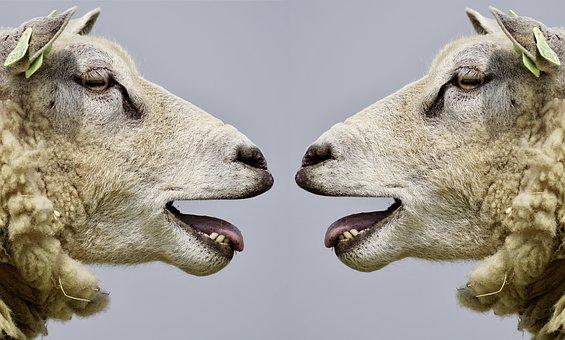 sheep-2372148__340
