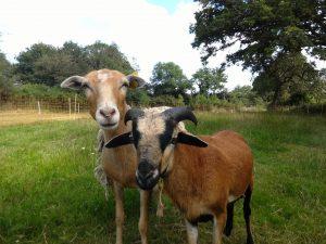 羊のアウェナと山羊のヴァラ